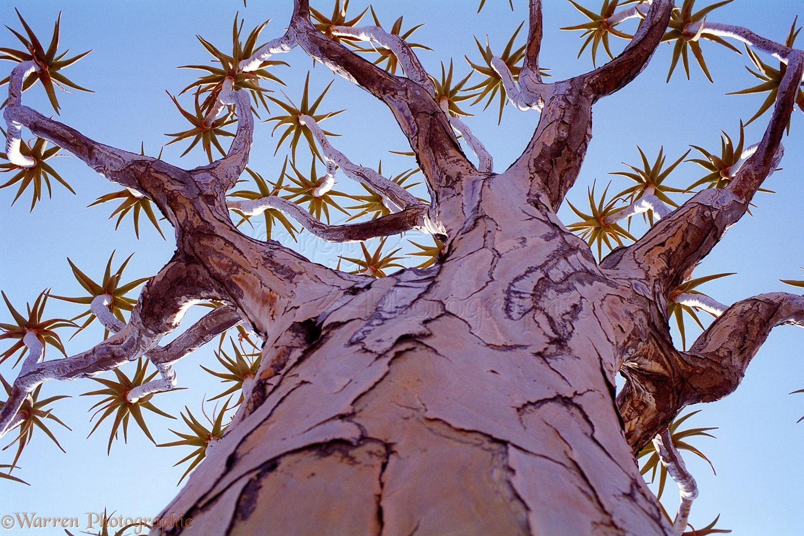 Aloidendron dichotomum