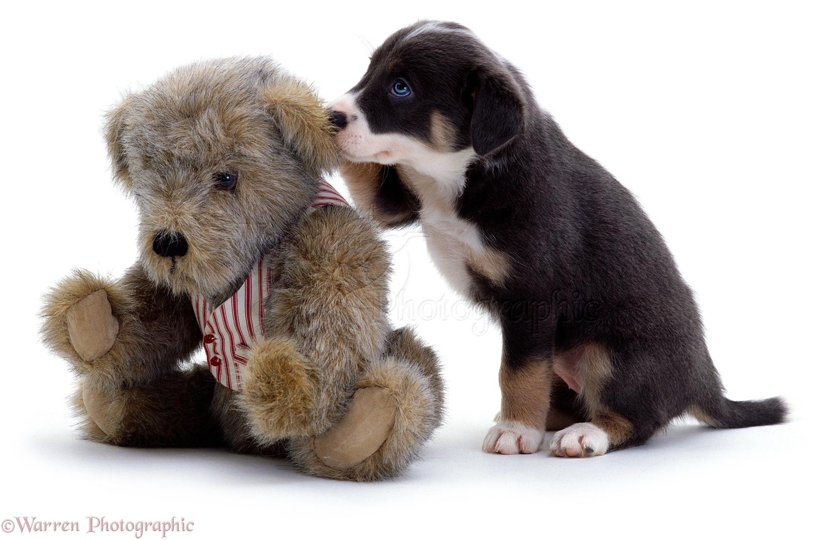 Dog Teddy Bear Border Collie Puppy Photo Wp02020