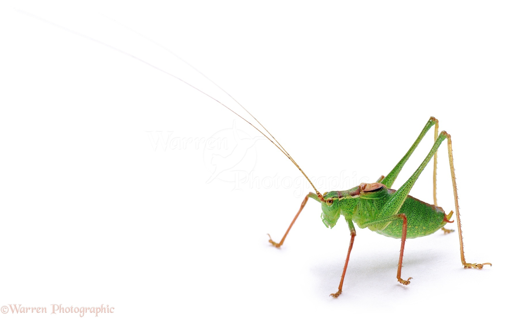 Speckled Bush Cricket Photo Wp02121