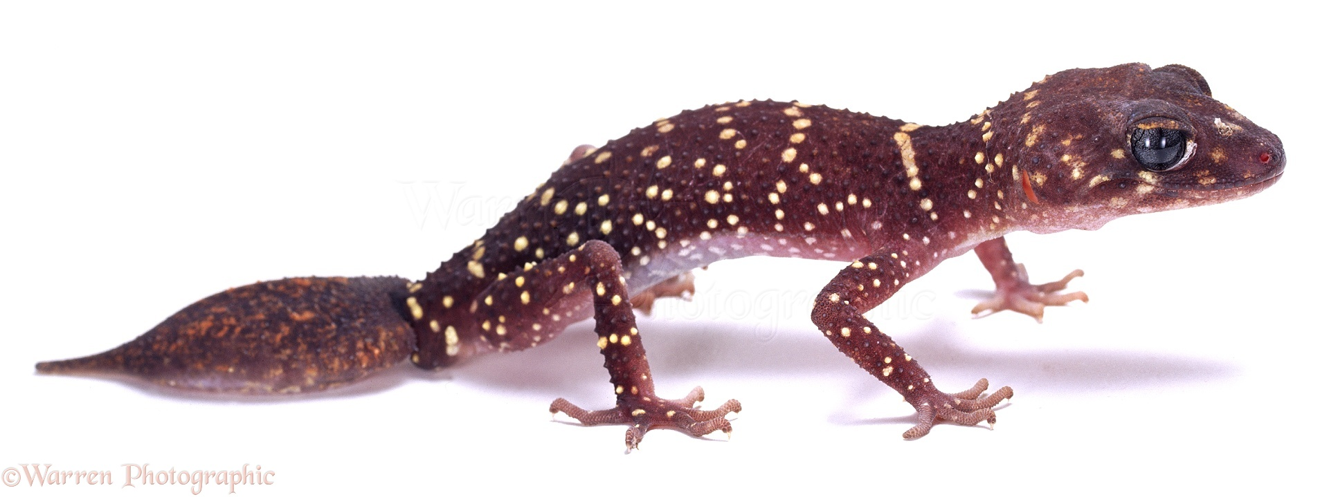 Barking Gecko Photo Wp02157
