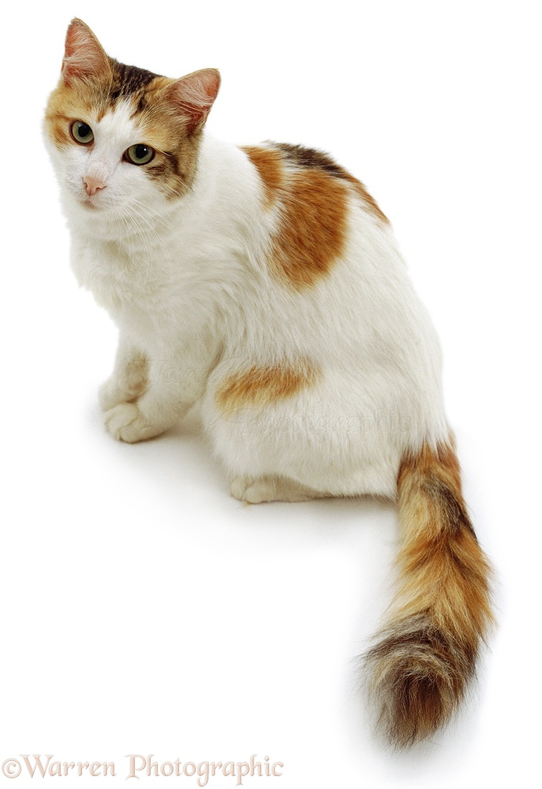 Cat Pictures White Background