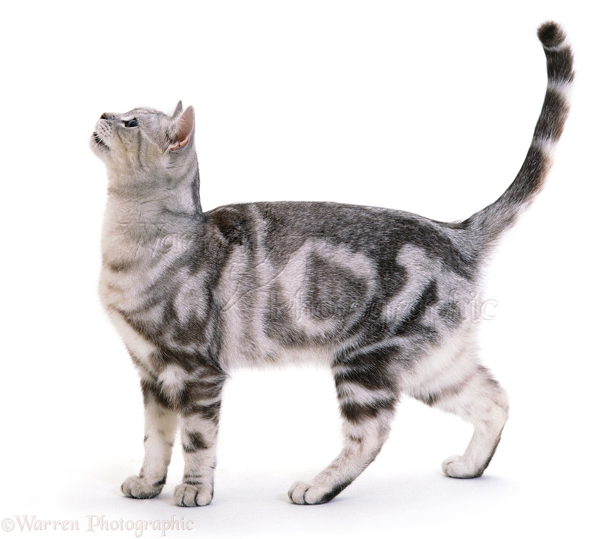 Tabby And White Cat Images