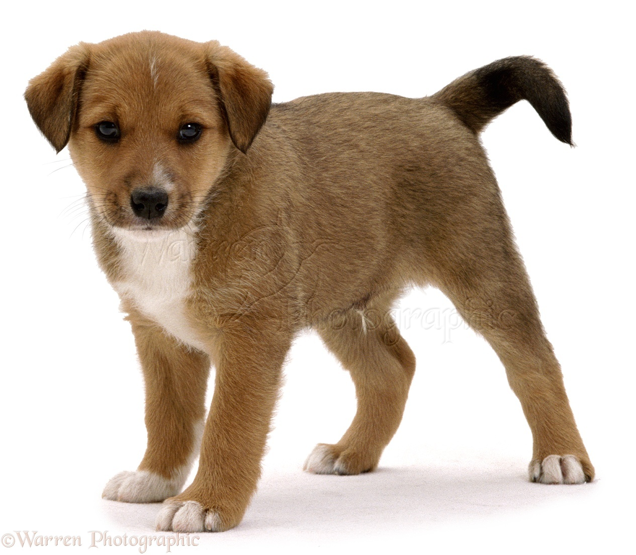 Dog: Small brown puppy photo - WP02272