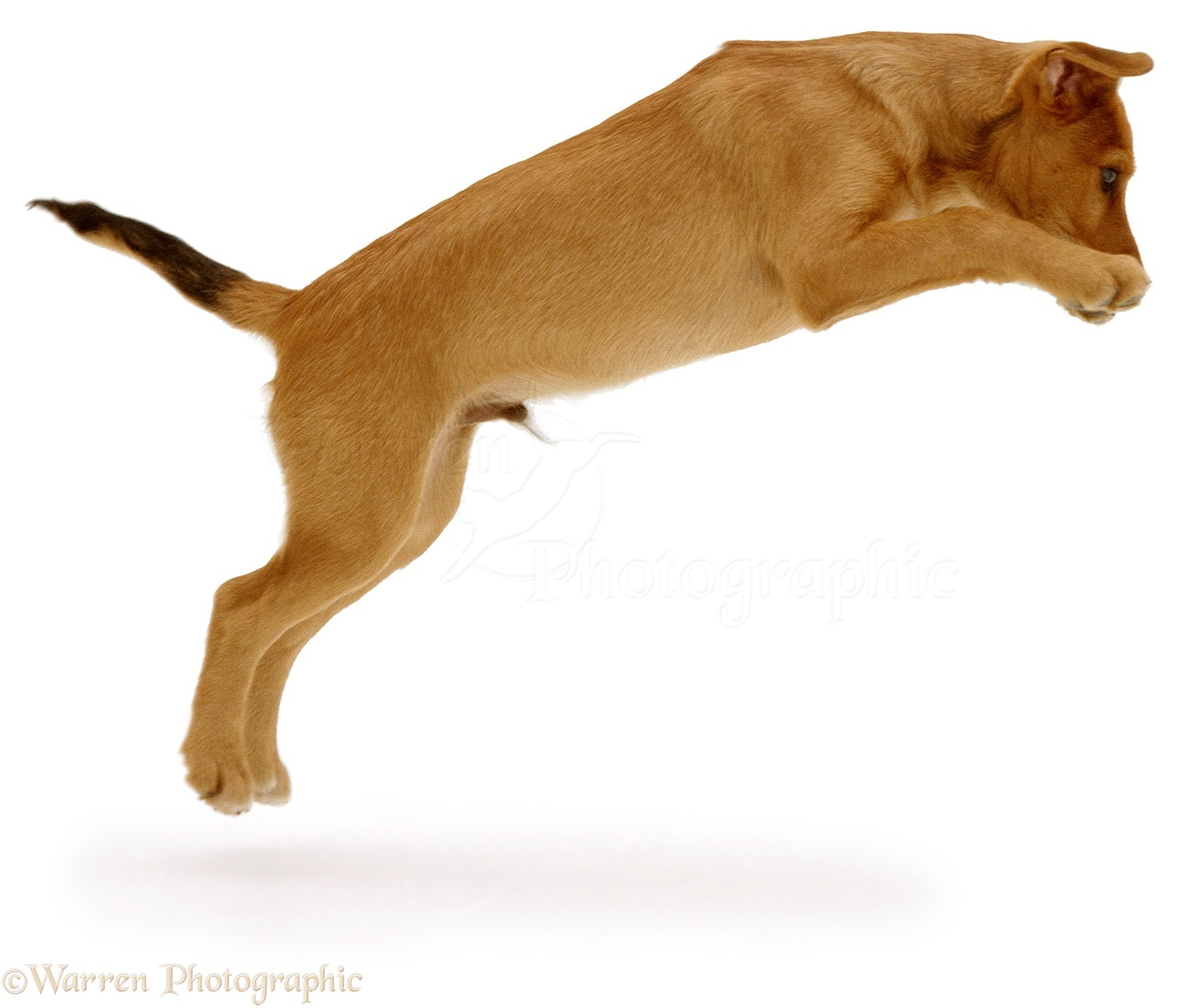 dog brown puppy leaping photo   wp02348
