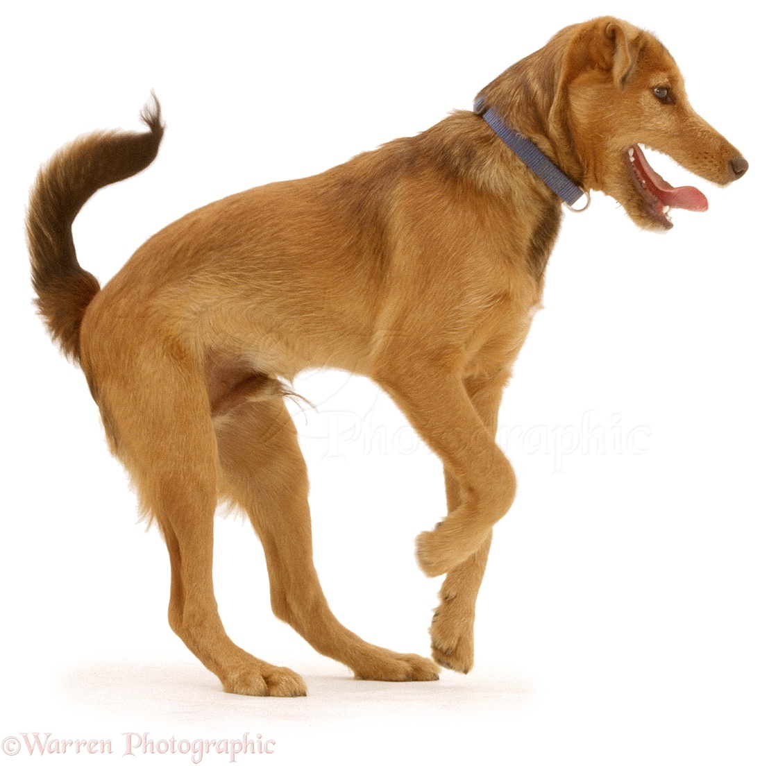 Dog Brown Breed