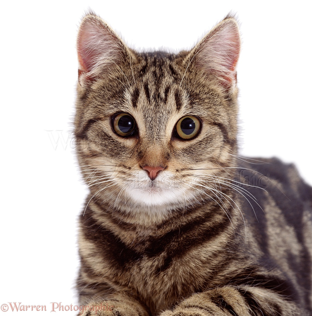 Tabby Cat with White Face