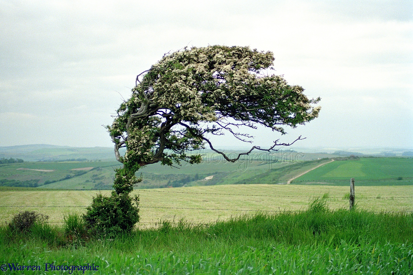 http://www.warrenphotographic.co.uk/photography/bigs/02502-Wind-blown-tree-at-Whitenothe.jpg
