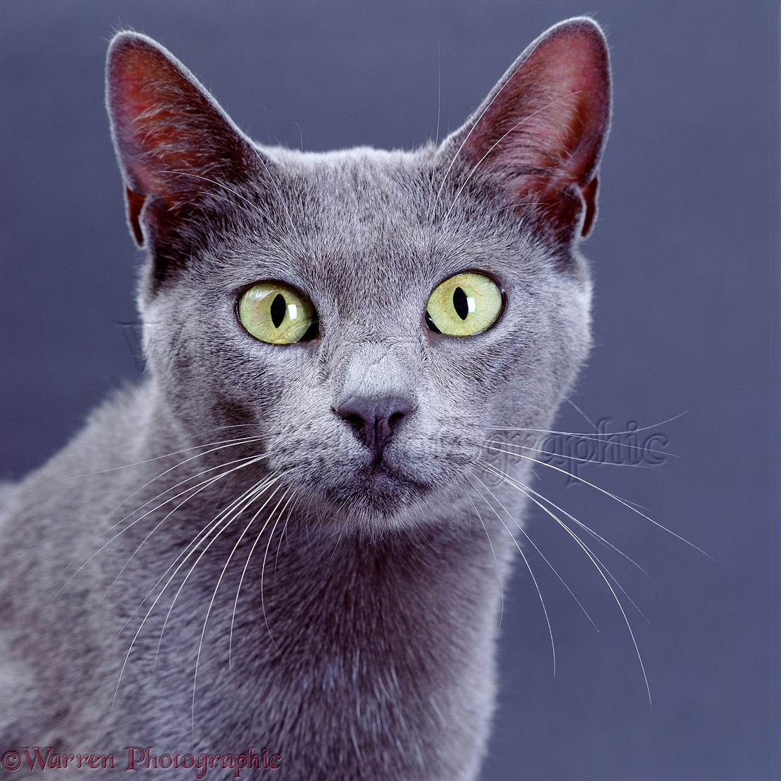 Description + Cat = Game! 02558-Grey-cat-with-yellow-eyes