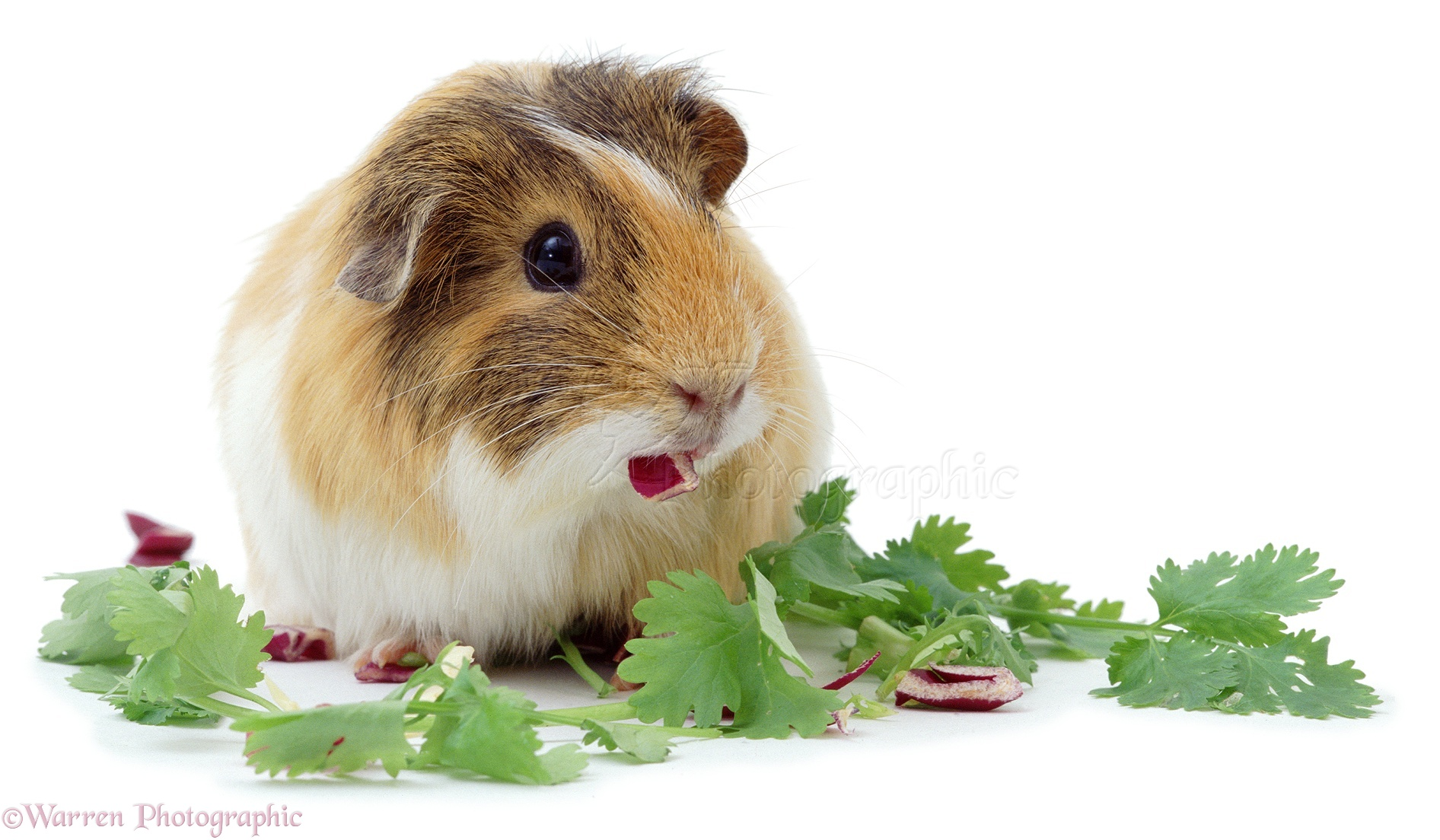 guinea pig eating leaves photo wp02631