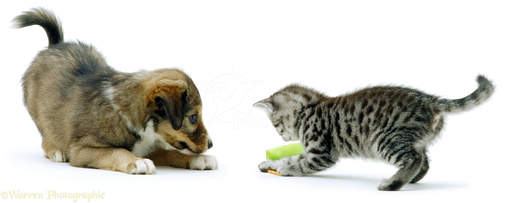 Pets Kitten And Puppy Playing Photo Wp02653
