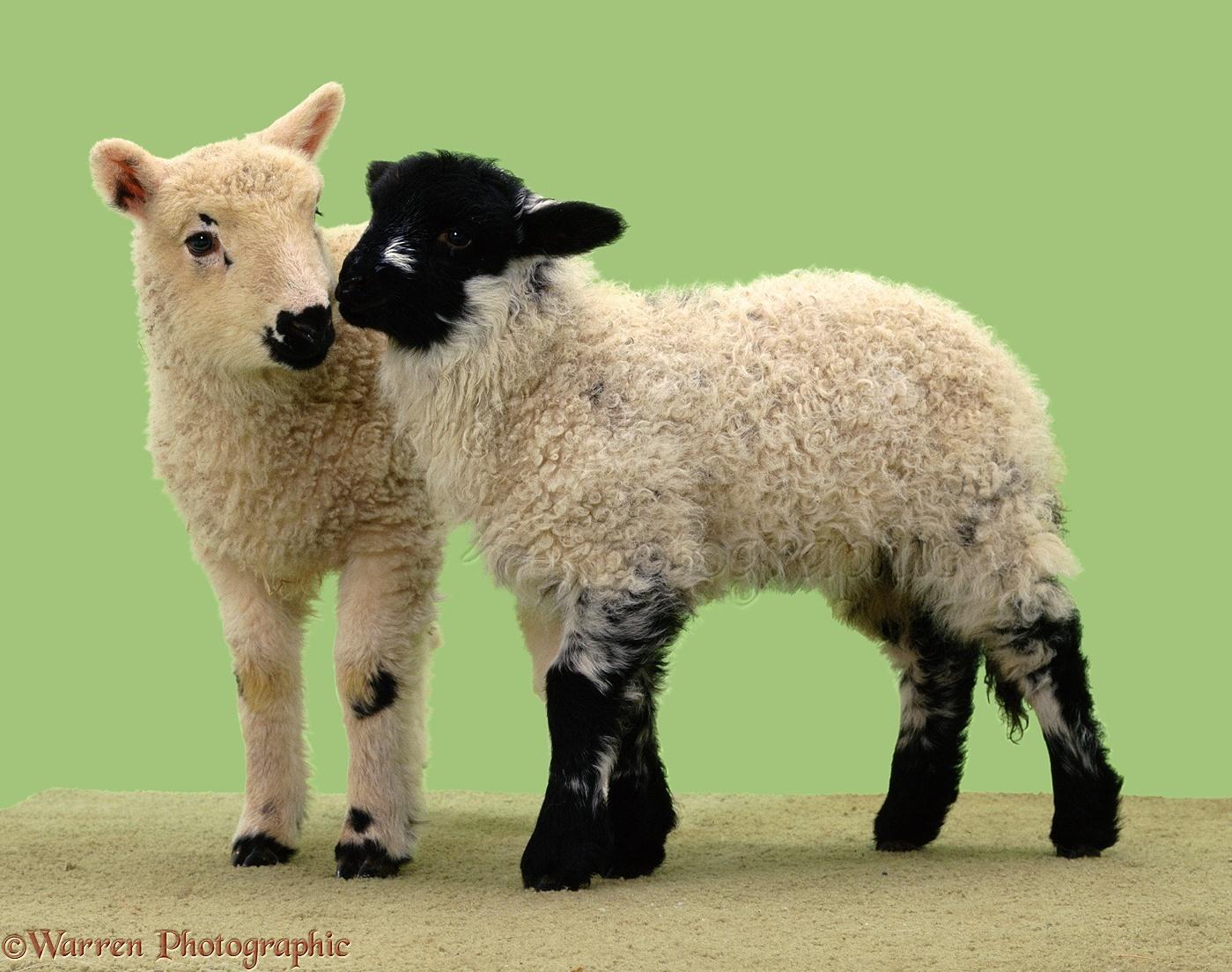 Two cute lambs photo WP02701