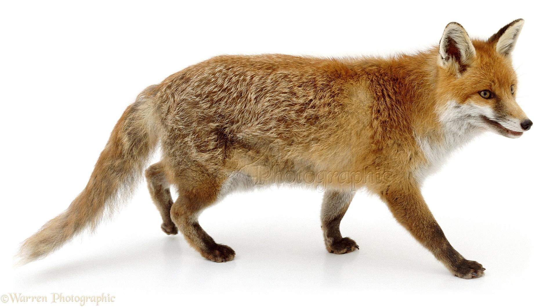 fox parent photo wp02735 red fox clip art outline vector Red Fox Illustration