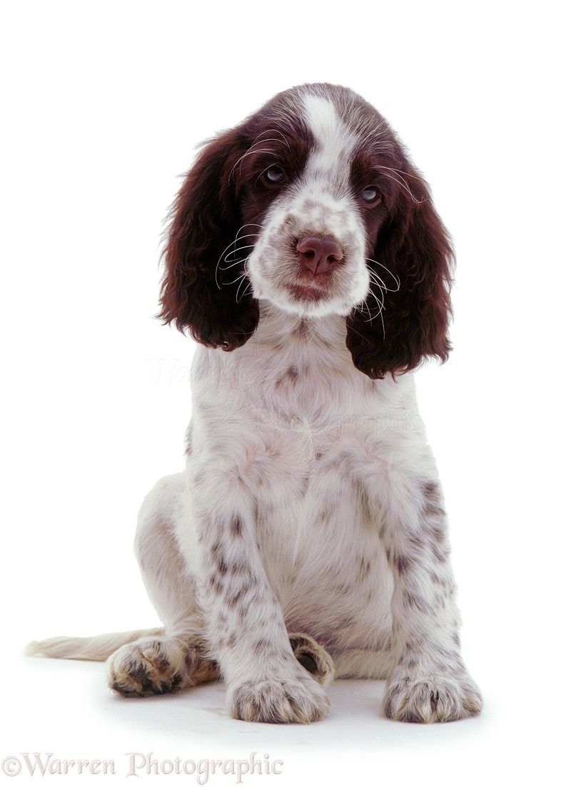 dog  english springer spaniel pup photo wp02777