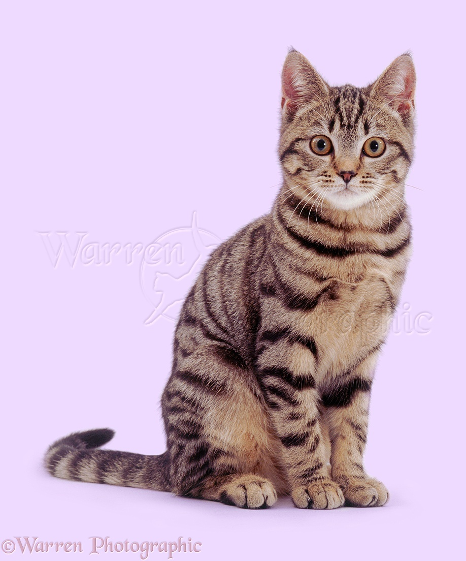 Wp02816 Brown Spotted Tabby Male Cat Lowlander Sitting Cute