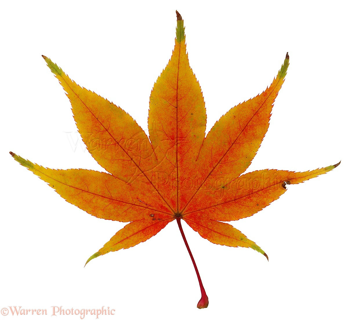 Japanese Maple Leaf Photo Wp02877