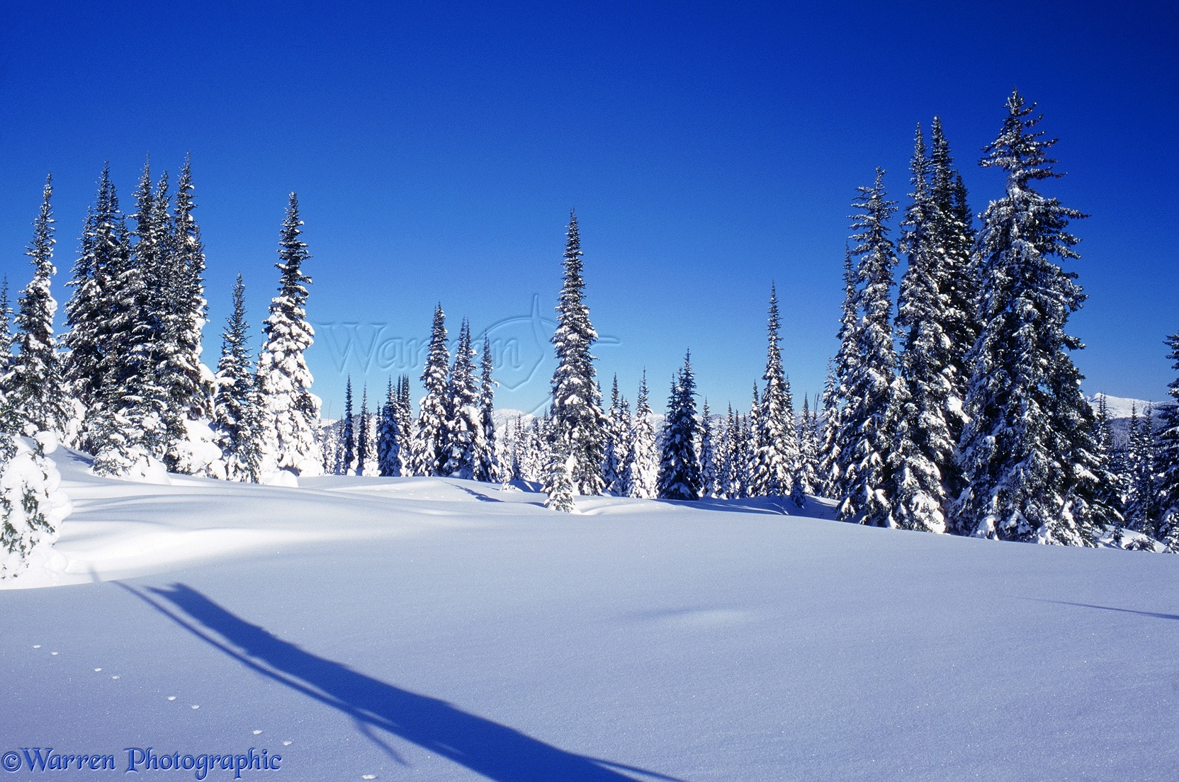 WP02943 Fresh snow and Subalpine Firs ( Abies lasiocarpa ). British ...