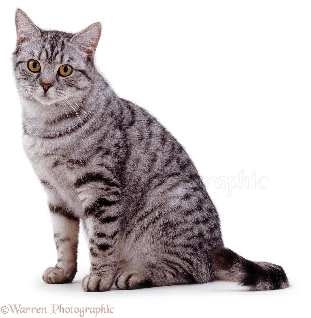silver spotted tabby cat photo wp02956