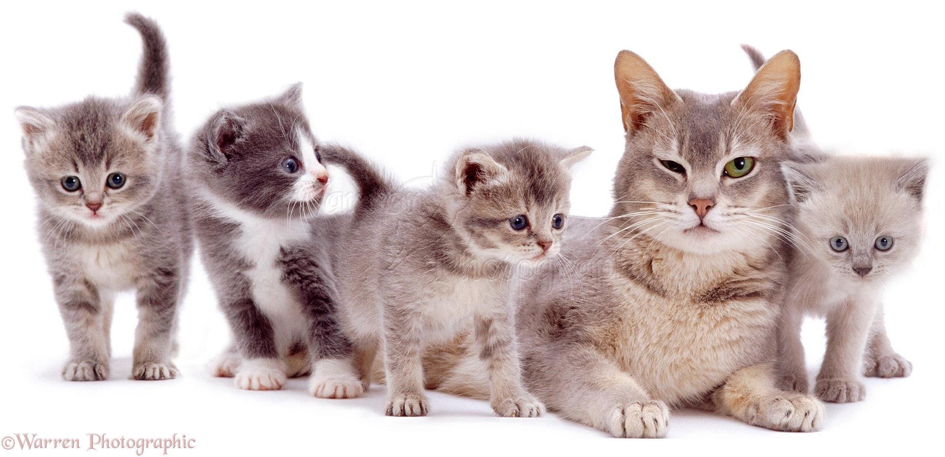 Grey mother cat and kittens photo WP