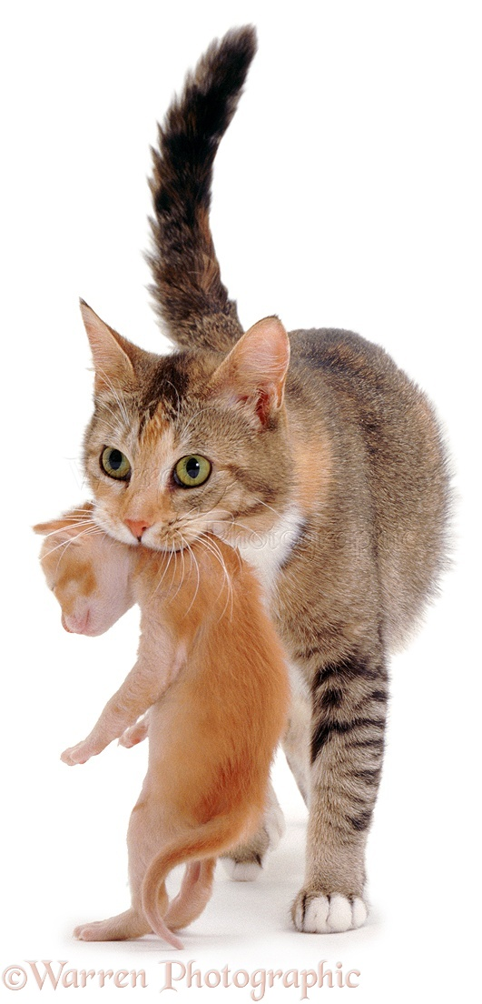 mother cat carrying a kitten photo   wp02991