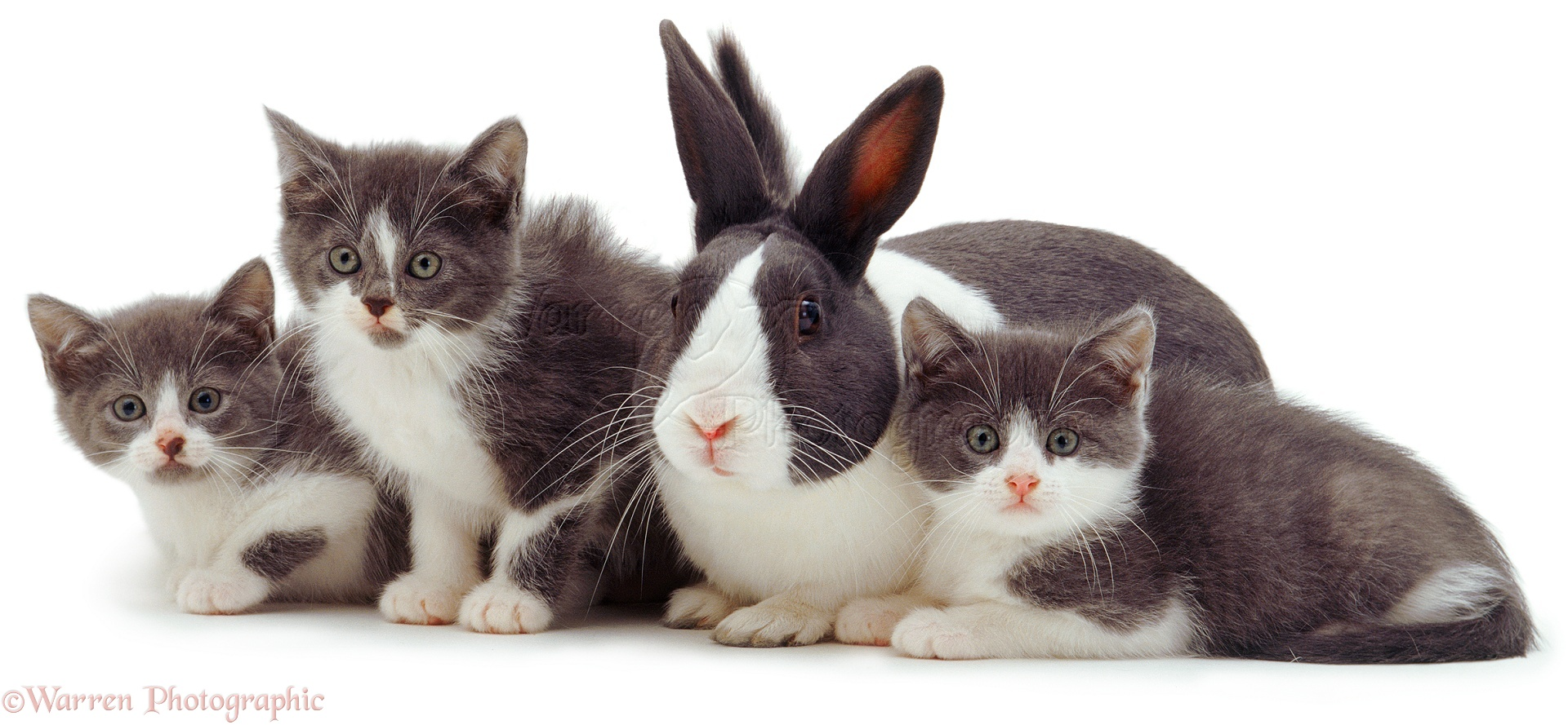 Pets Cute grey and white kittens and rabbit photo WP