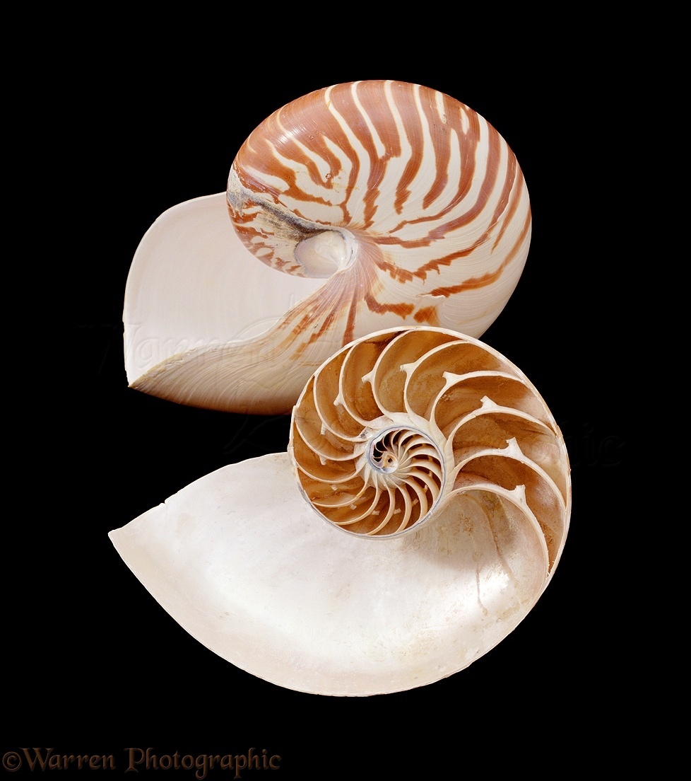 Nautilus Shell Meaning Topsimages