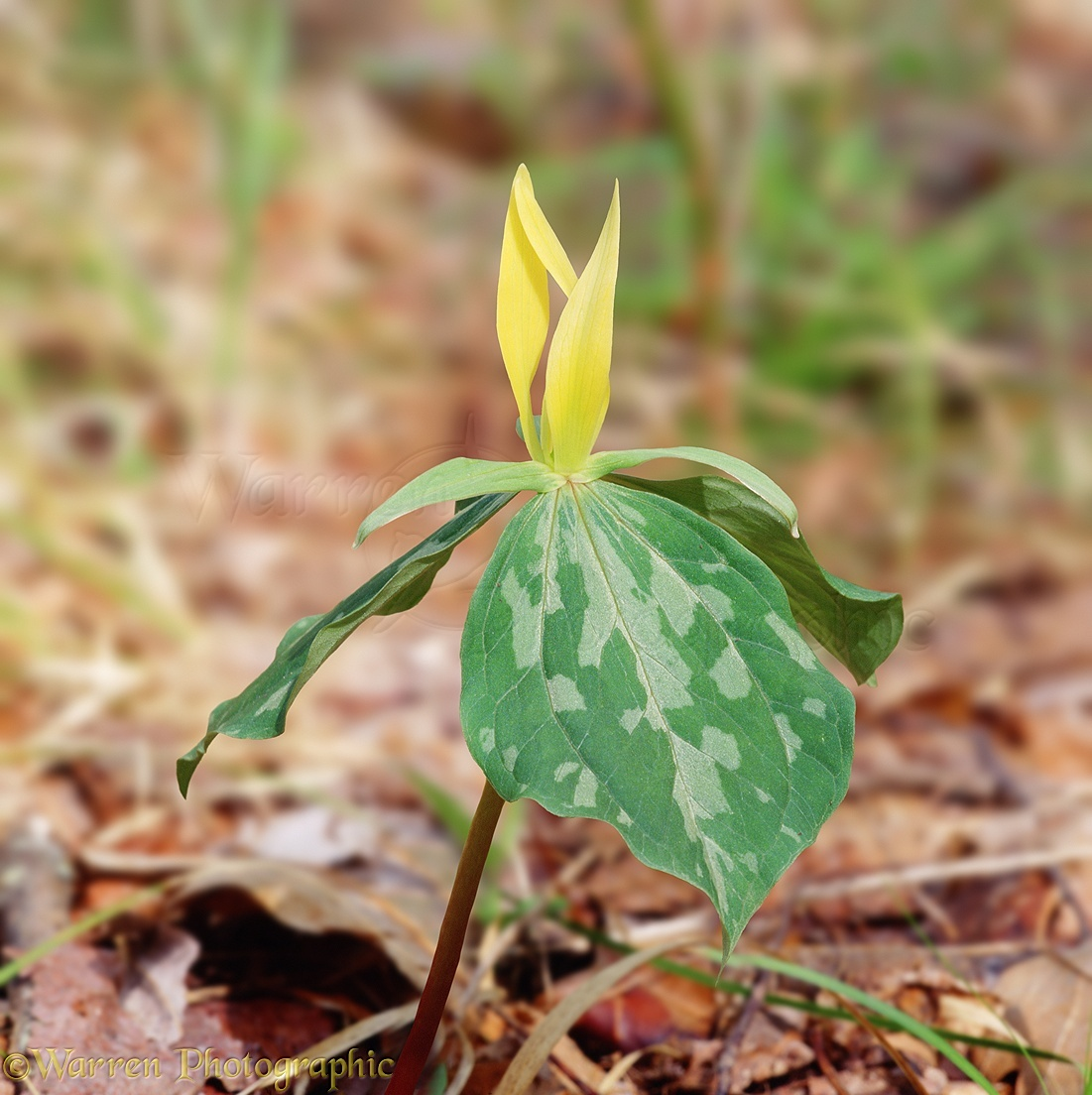 Yellow trillium photo wp03113 yellow trillium trillium luteum flower mightylinksfo