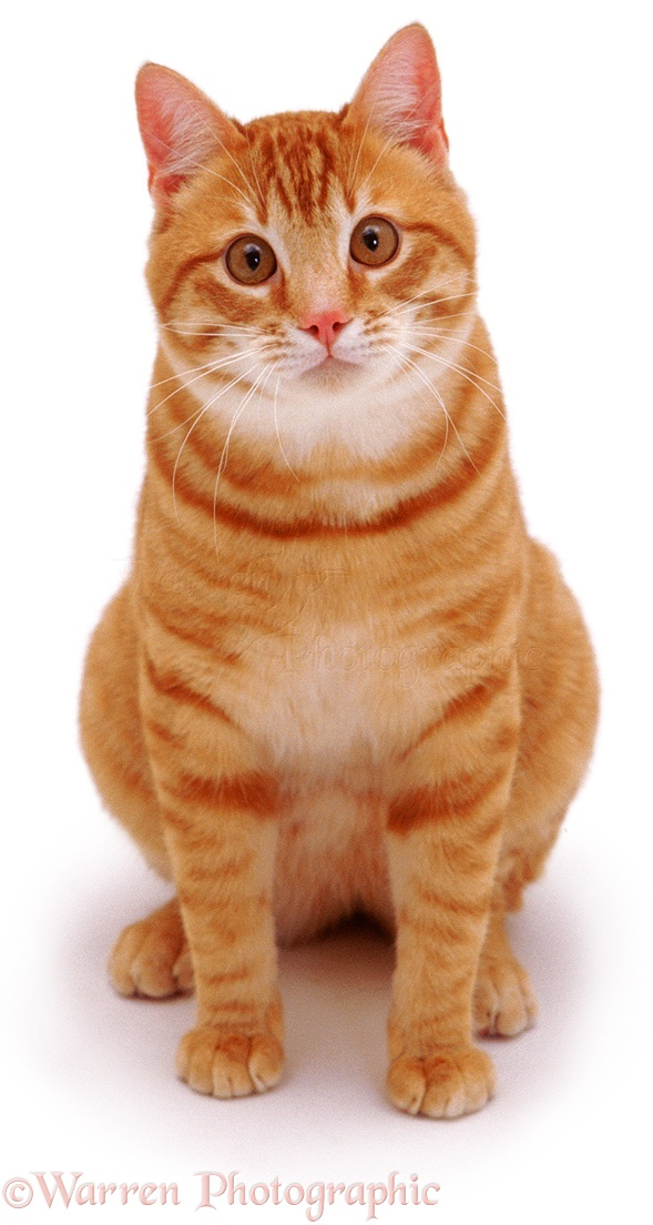 03160-Ginger-cat-sitting-looking-up-white-background.jpg