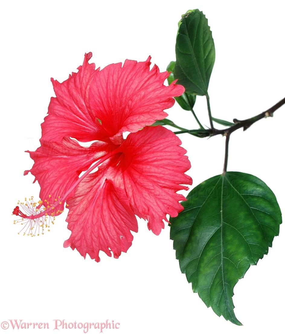 Hibiscus flower photo wp03180 izmirmasajfo