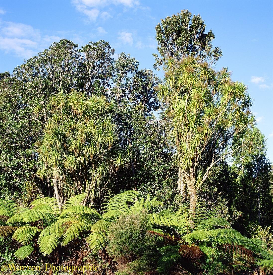 Wp03250 native plants of new zealand cabbage trees cordyline