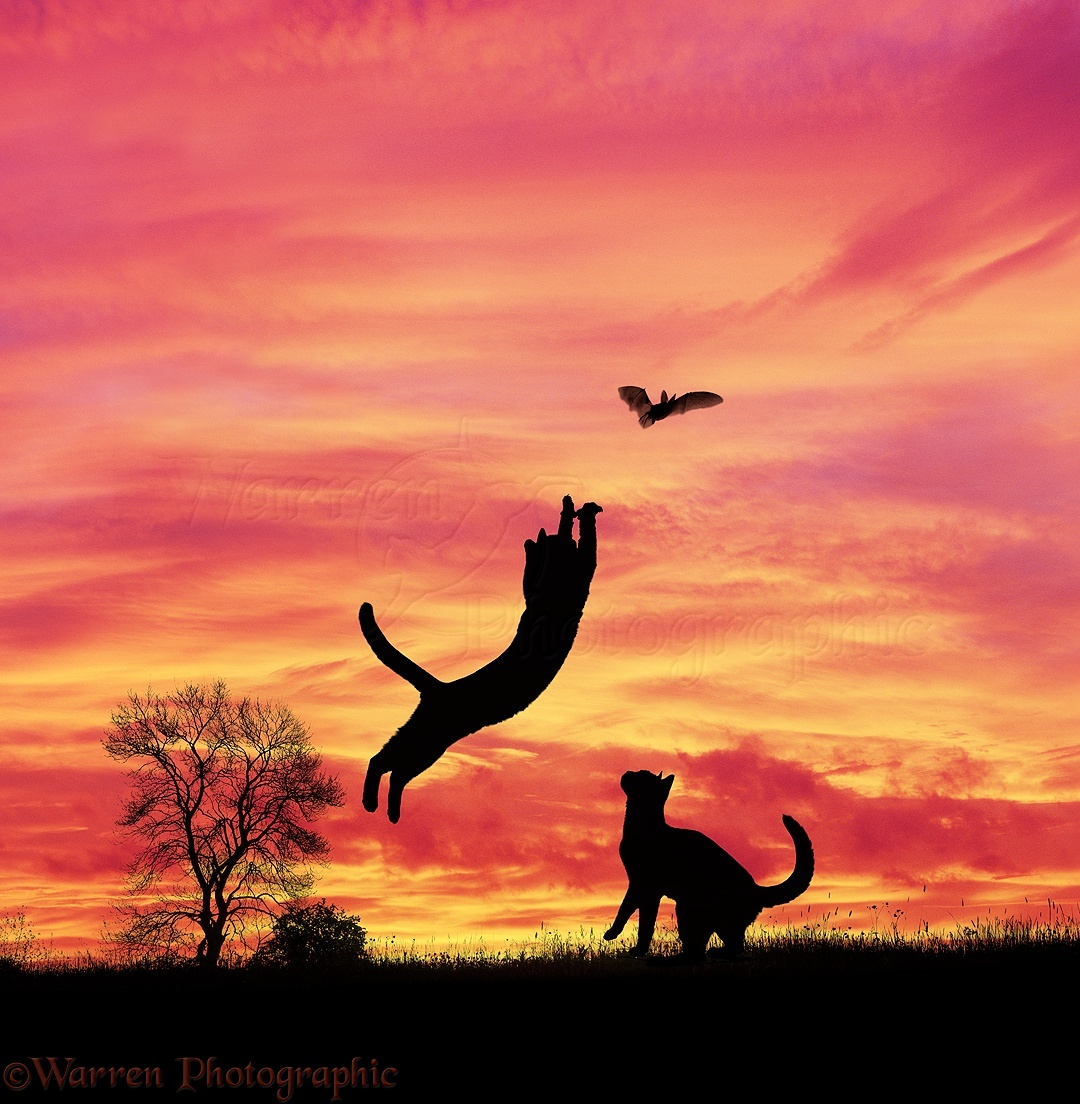 Silhouette Cats Leaping At A Bat Photo Wp03351