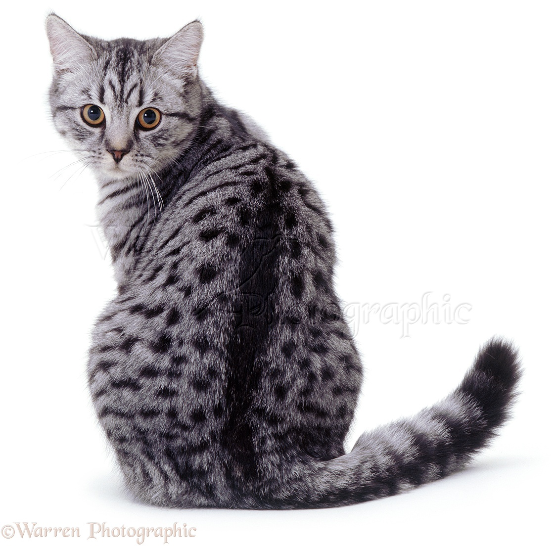 FC Auditions 03360-Silver-spotted-cat-looking-back-white-background