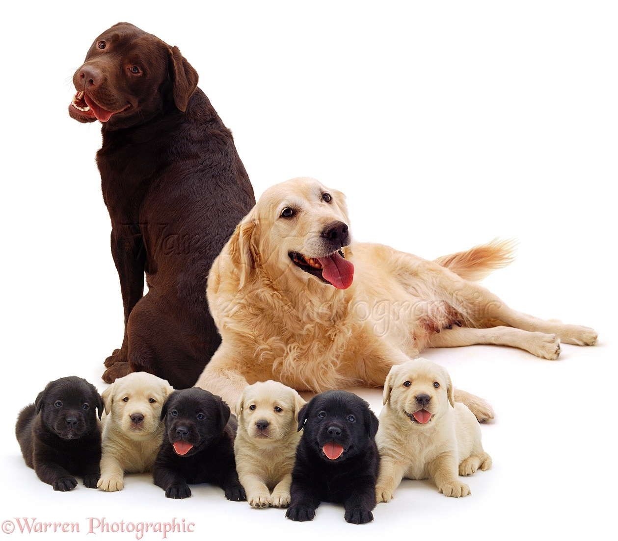 Dogs: Different coloured Labrador family photo - WP03475