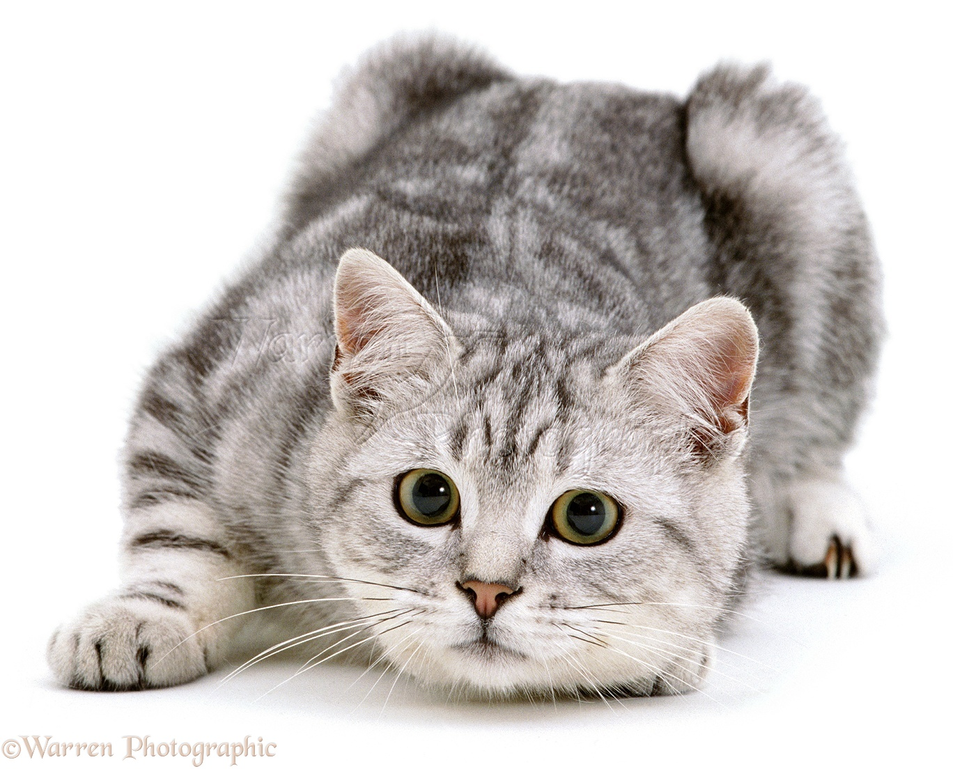 White Transparent Background Cat