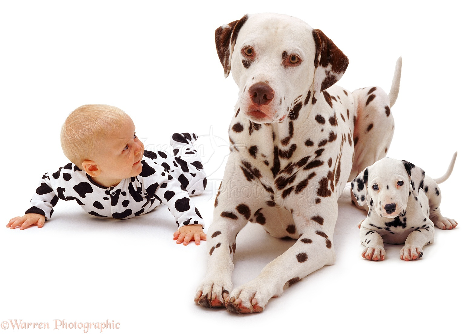 WP03550 Baby Siena , 6 months old, with a Dalmatian father and pup.
