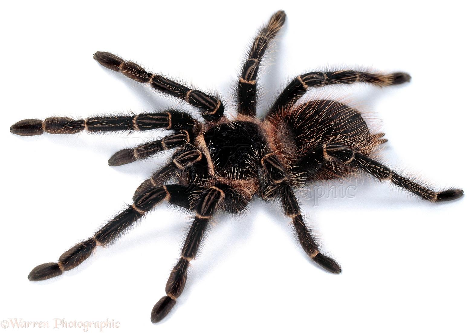 Giant spider eating bird - photo#18
