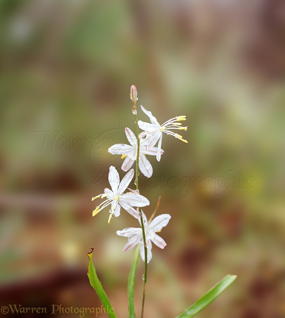 White Flower With Raindrops Photo Wp03701