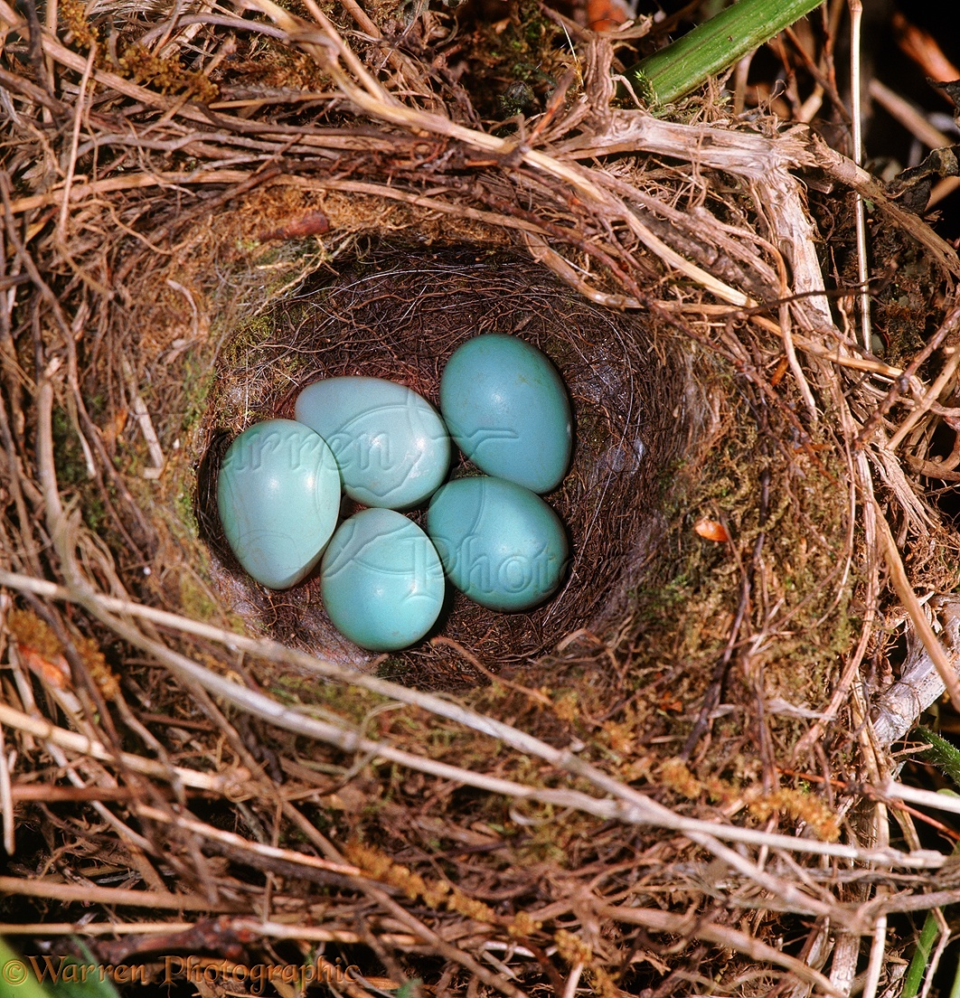 ... Hedge Sparrow or Dunnock ( Prunella modularis ) nest with eggs