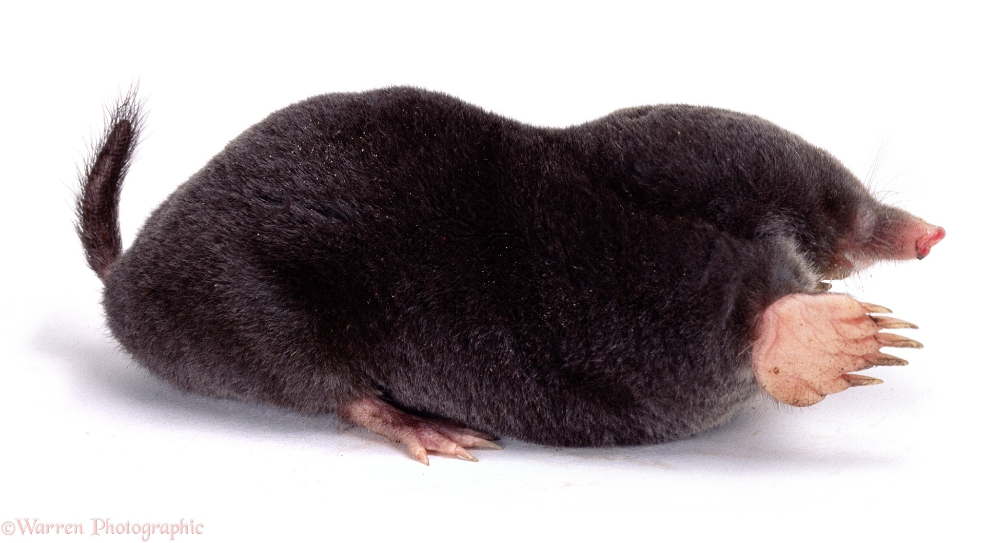 Image result for European Mole