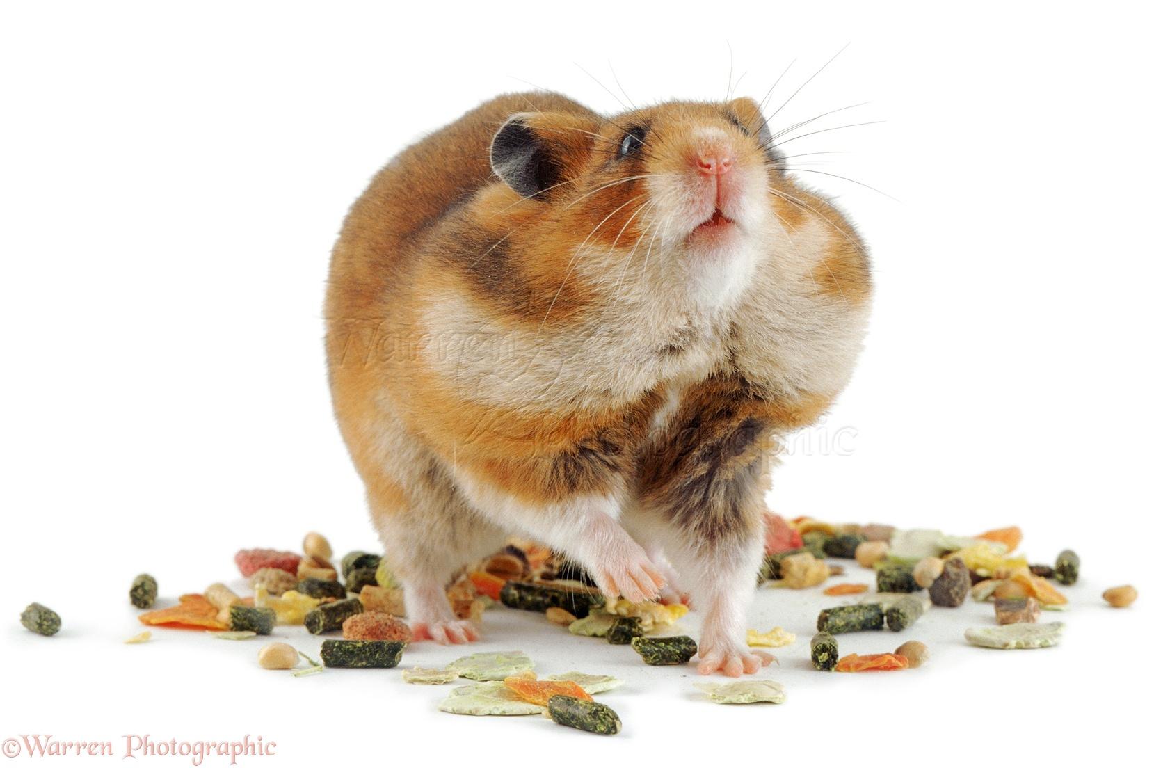 Golden hamster white - photo#13