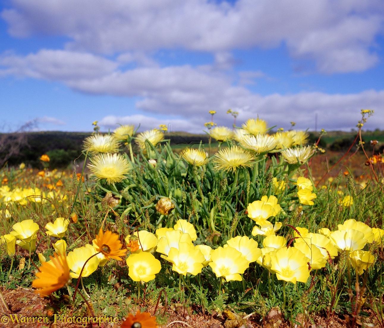 Desert Flowers Photo Wp03874
