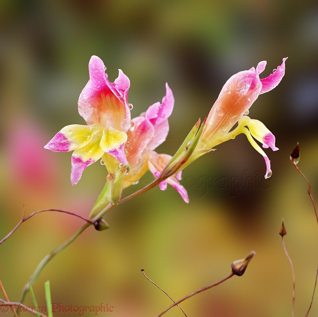 Gladiolus Venustus Flowers Photo Wp03961