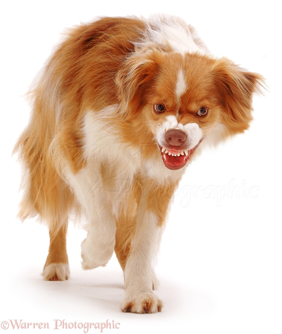 Displaying 18> Images For - Dog Snarling...