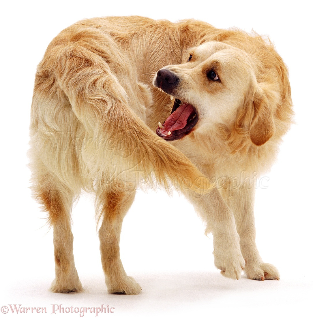 Dog: Golden Retriever chasing his tail photo WP04014