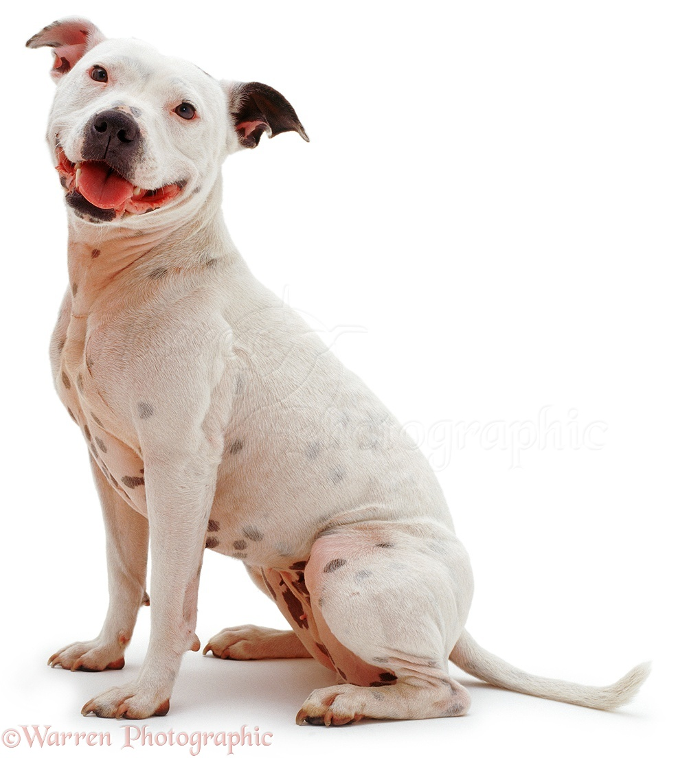 Dog: Staffordshire Bull Terrier photo - WP04042