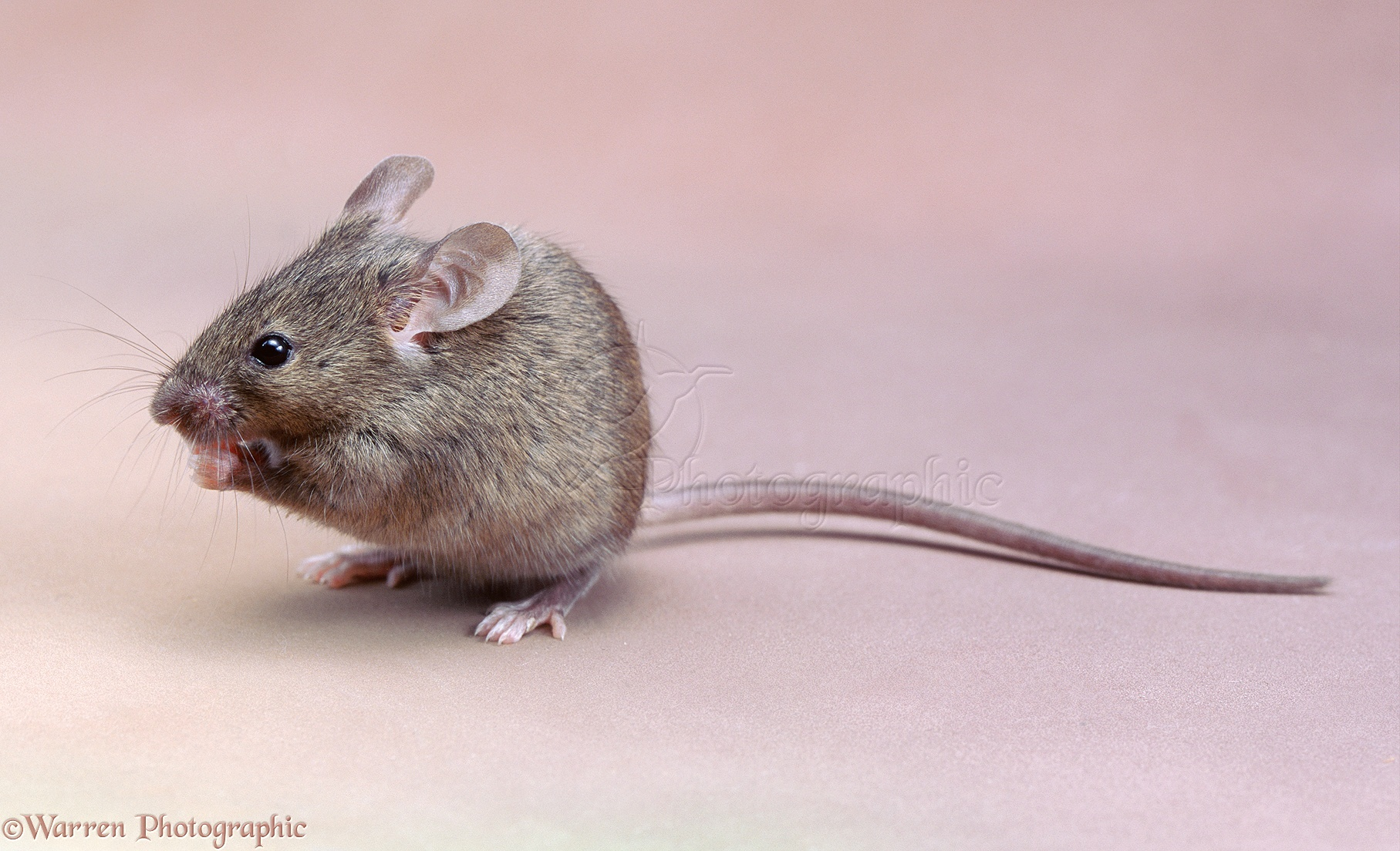 House mouse photo wp04070 for See more com