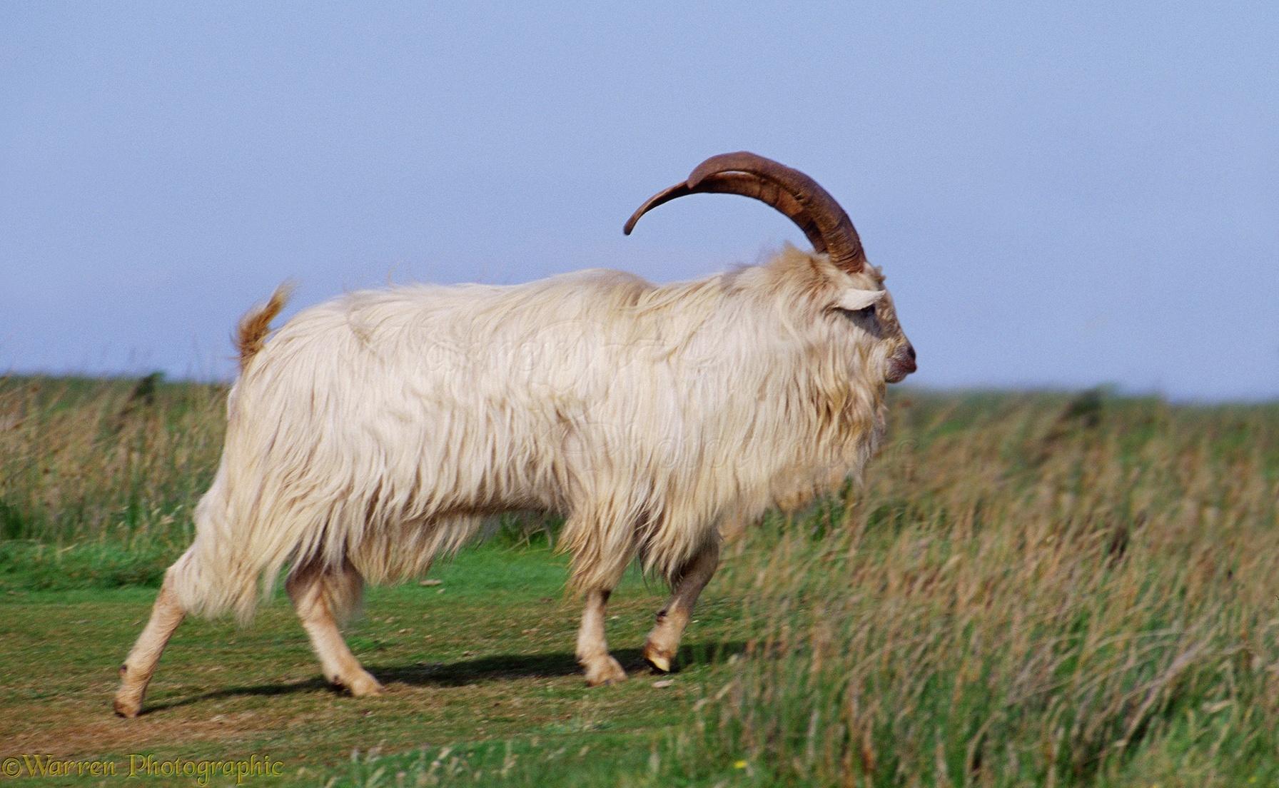 White Goat Photo Wp04072