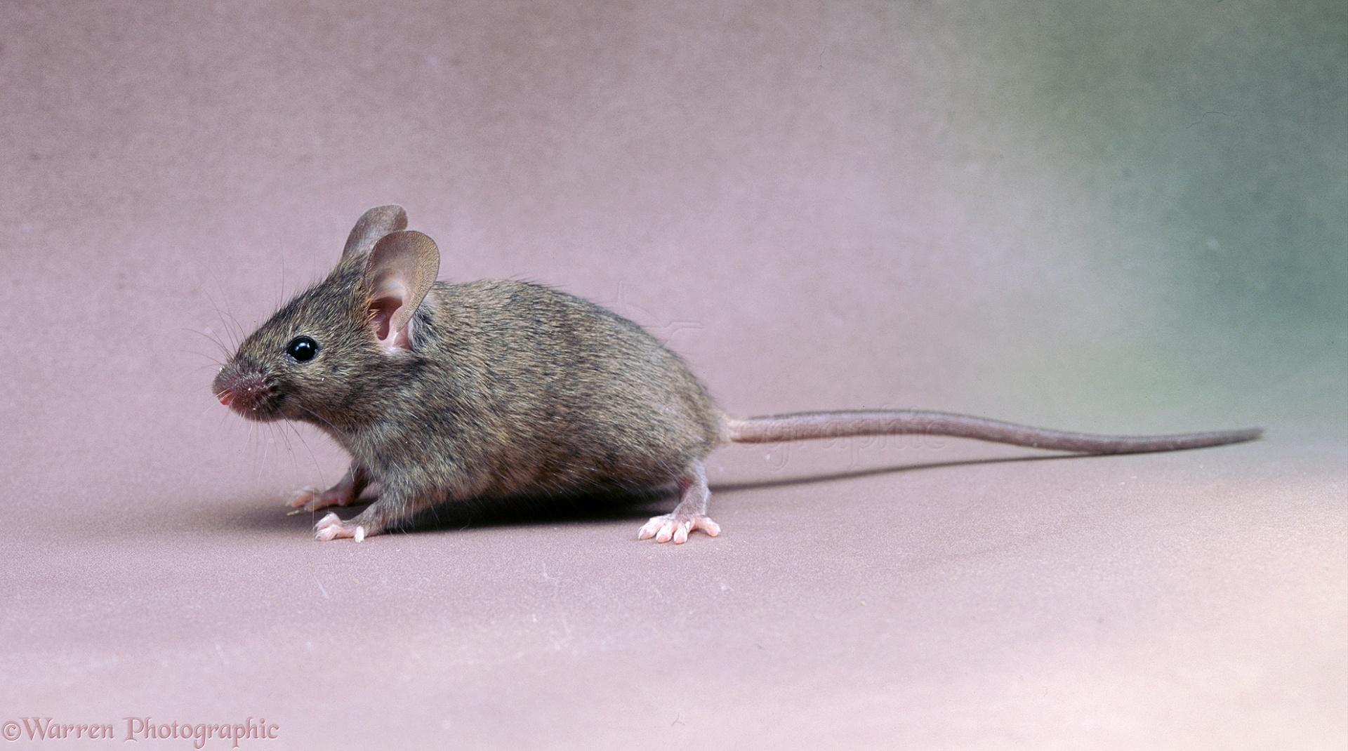 house mouse photo wp04073