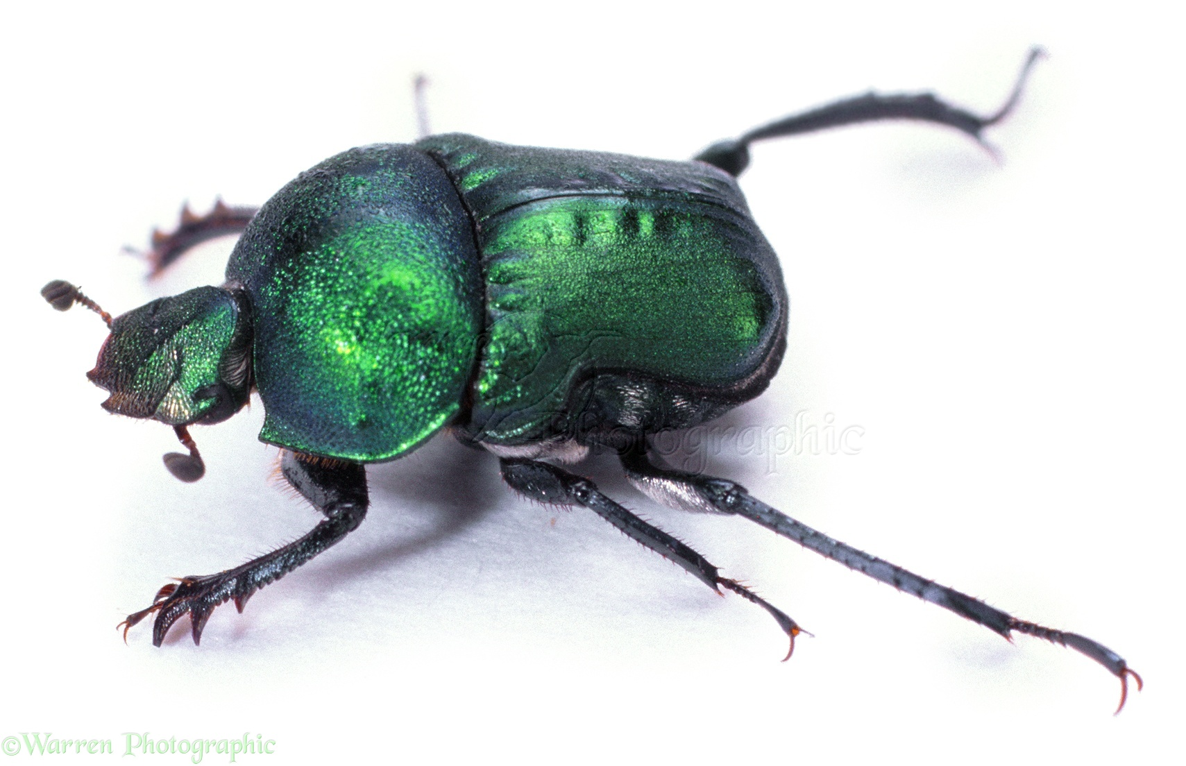 Green Dung Beetle - Bing images Q The Dung Beetle