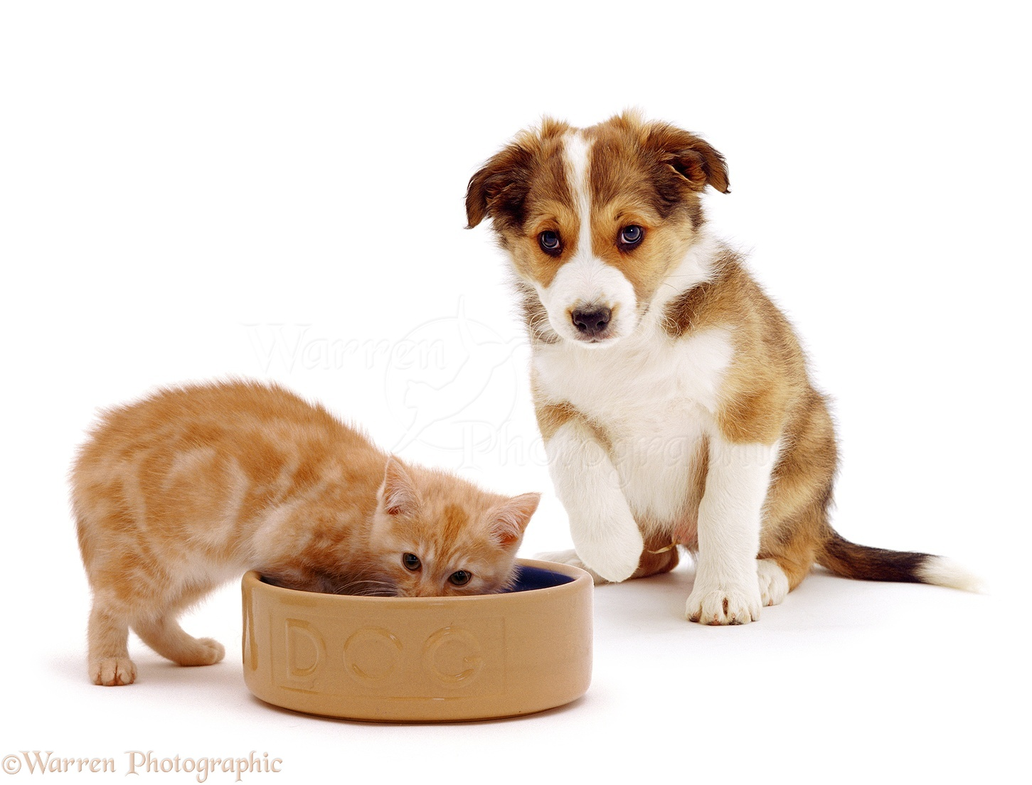 Pets Kitten In A Dog Bowl Photo Wp04187