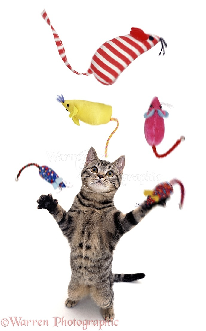 04213-Cat-juggling-toy-mice-white-background.jpg